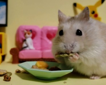 Try Not To Smile when watching this cute hamster video [Cute Animal Vid] - try not to smile when watching this cute hamster video cute animal vid