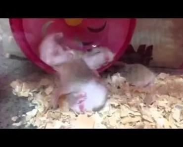 Crazy funny hamster sleeping - crazy funny hamster sleeping