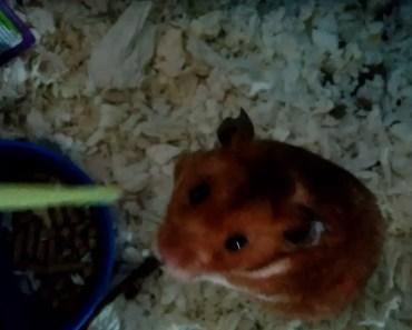 Crazy hamster cute/funny - crazy hamster cute funny