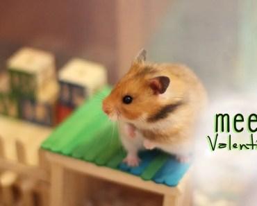 Cute Golden Hamster (Syrian Hamster) - cute golden hamster syrian hamster