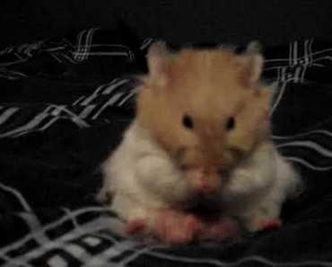 Cute Hamster Cleaning Himself - cute hamster cleaning himself