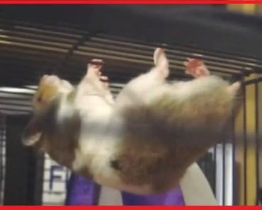 Cute Hamster Stunt - Hang upside down like a Spider on Cage - cute hamster stunt hang upside down like a spider on cage