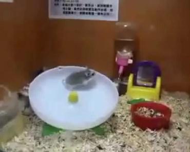 Funny Hamster Moment - funny hamster moment