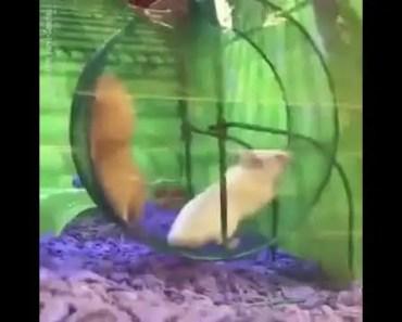 Funny hamster stuck in wheel! - funny hamster stuck in wheel