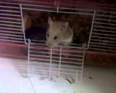 funny smart hamster escapes - funny smart hamster escapes