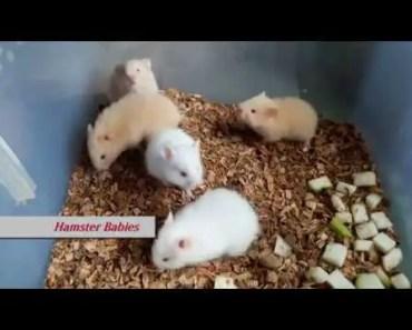 Hamster Babies - hamster babies