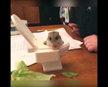 Hamster Sits in Toy Toilet - hamster sits in toy toilet