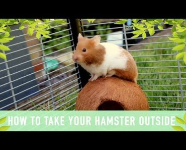 HOW TO TAKE YOUR HAMSTER OUTSIDE - how to take your hamster outside