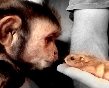 Monkey Meets Hamsters (Face to Face) - monkey meets hamsters face to face