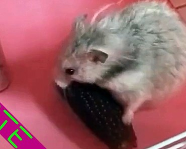 A cute hamster tried hard to take the corn home [CUTE & FUNNY] #6 - a cute hamster tried hard to take the corn home cute funny 6