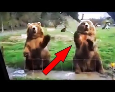BEARS WAVE BACK   Funniest Animals In The World   Part 5   Compilation 2018   HD - bears wave back funniest animals in the world part 5 compilation 2018 hd