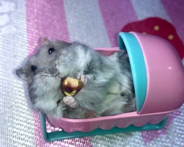 Can hamsters eat pistachios? - Cute and funny hamster in a baby cot - can hamsters eat pistachios cute and funny hamster in a baby cot