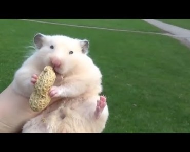 Cute Funny Hamster Is Eating Food | Popular Animal Video - cute funny hamster is eating food popular animal video