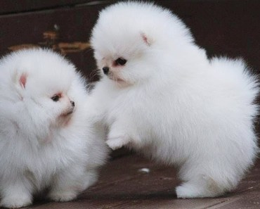 Cute Pomeranian Puppies 15 | Cutest and Funniest Dogs Videos Compilation 2018 - cute pomeranian puppies 15 cutest and funniest dogs videos compilation 2018