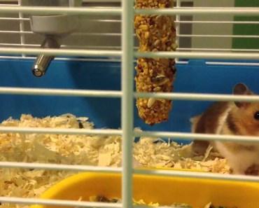 Funny Hamster Honey Stick - funny hamster honey stick