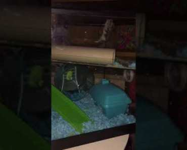 Funny hamster (stormy)doing gymnastics - funny hamster stormydoing gymnastics