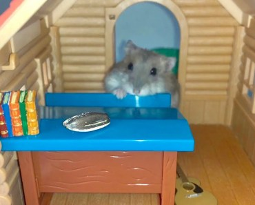 Greedy hamster snacking in class - Cute and funny videos of hamsters - greedy hamster snacking in class cute and funny videos of hamsters