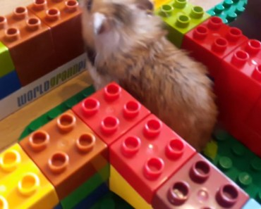 Hamster funny Lego maze adventure. - hamster funny lego maze adventure