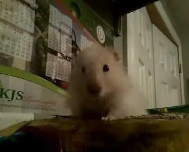 Hamster is very funny - hamster is very funny