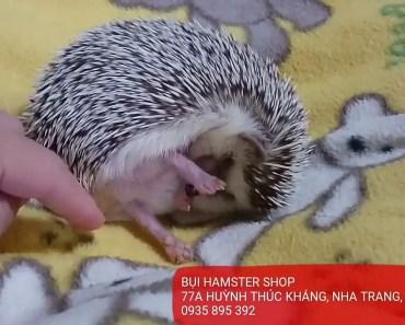 Hamster Nha Trang - Nhím kiểng HEDGEHOG funny cute - hamster nha trang nhim kieng hedgehog funny cute