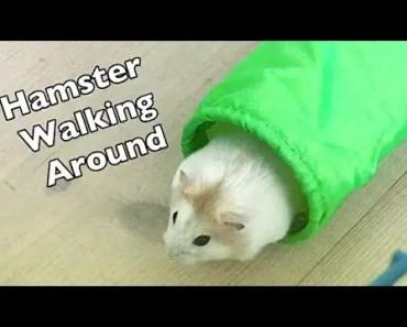 Hamster walking around - hamster walking around