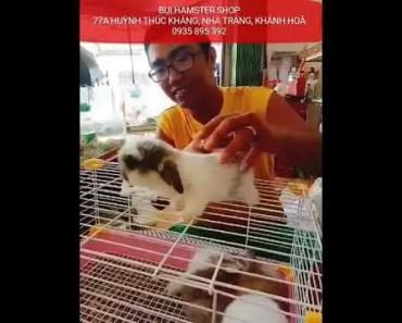 Hamstet Nha Trang - Rabbit Minilop cute funny - hamstet nha trang rabbit minilop cute funny