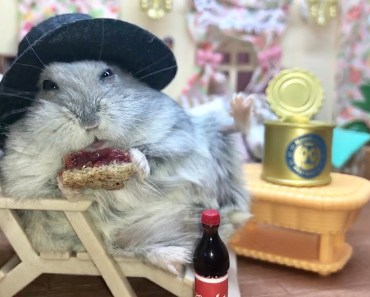 Happy hamster enjoys pampered life - Cute and funny videos of hamsters - happy hamster enjoys pampered life cute and funny videos of hamsters