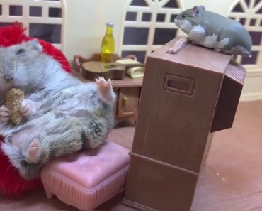 Lazy hamster relaxing on a sofa - Cute and funny films of hamsters - lazy hamster relaxing on a sofa cute and funny films of hamsters