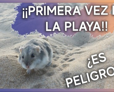 Llevo a mi hámster a la Playa | Cuidados y Advertencias - llevo a mi hamster a la playa cuidados y advertencias