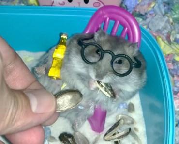 Pampered hamster loves his sunflower seeds - Cute and funny videos of hamsters - pampered hamster loves his sunflower seeds cute and funny videos of hamsters