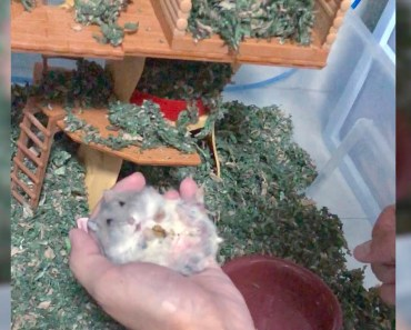 Pampering my sick and aging hamster - Cute and funny videos of hamsters - pampering my sick and aging hamster cute and funny videos of hamsters
