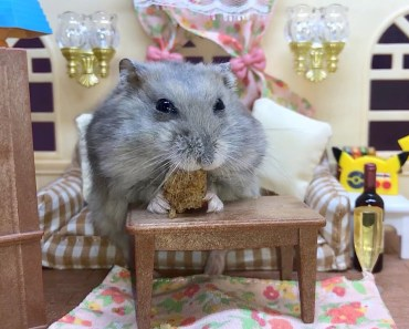 Tiny hamster eating on a sofa - Cute and funny videos of hamsters - tiny hamster eating on a sofa cute and funny videos of hamsters