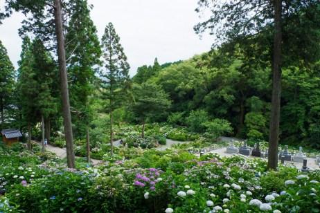 千光寺の紫陽花の写真