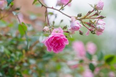 バラの写真