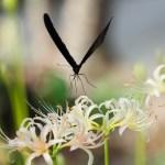 アゲハと彼岸花の写真