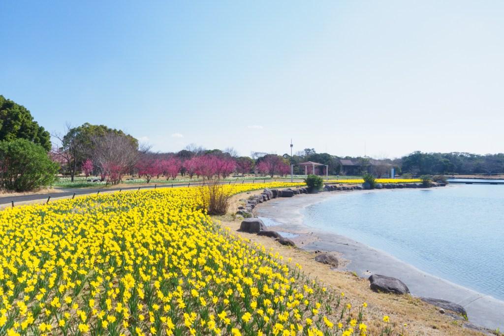 海の中道海浜公園の梅と水仙の写真