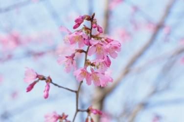 福岡市植物園の桜の写真