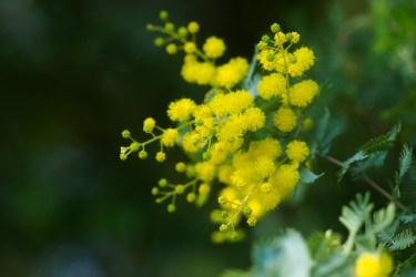 福岡市植物園のアカシアの写真