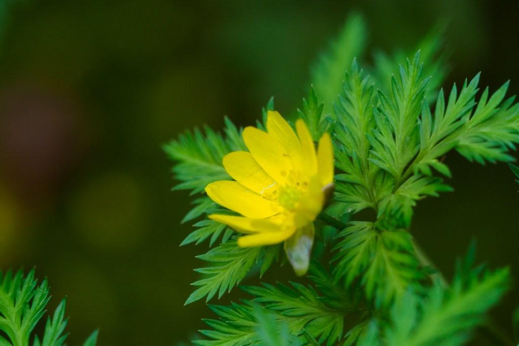 筥崎宮花庭園の福寿草の写真