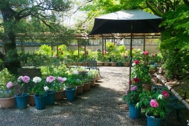 筥崎宮花庭園の牡丹の写真