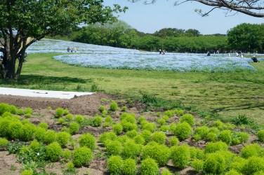 海の中道海浜公園のネモフィラの写真