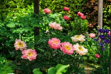 筥崎宮花庭園の芍薬の写真