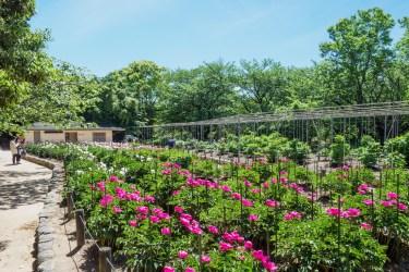 舞鶴公園の芍薬の写真