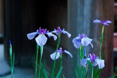 宮地嶽神社の花菖蒲の写真