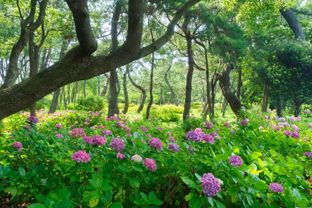 海の中道海浜公園の紫陽花の写真