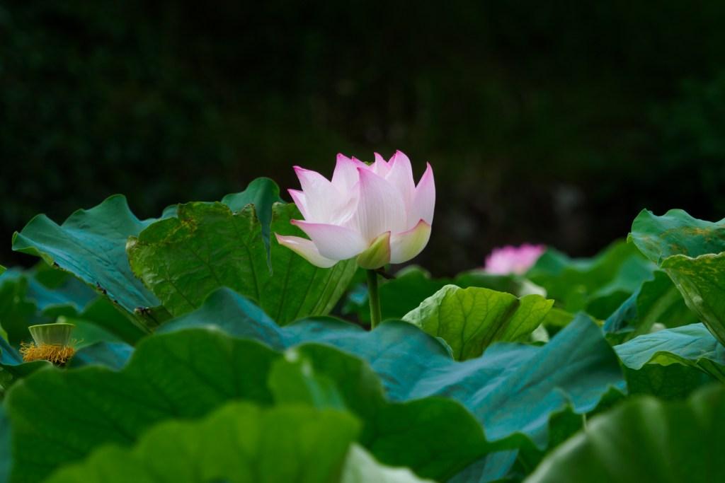 舞鶴公園の蓮の写真