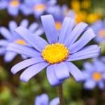 ブルーデージー(Blue daisy)の特徴と花言葉