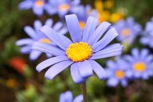 ブルーと黄色のコントラストが綺麗なブルーデージー