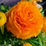 ラナンキュラス(Ranunculus)の特徴と花言葉