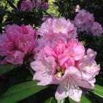 シャクナゲ(石楠花)の特徴と花言葉